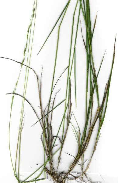 Ehrharta stipoides,