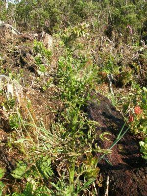 Erechtites valerianifolia
