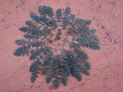 Erodium cicutarium