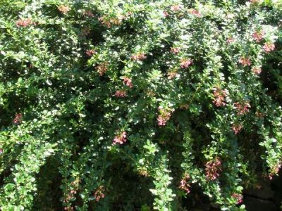 Escallonia rubra var. macrantha