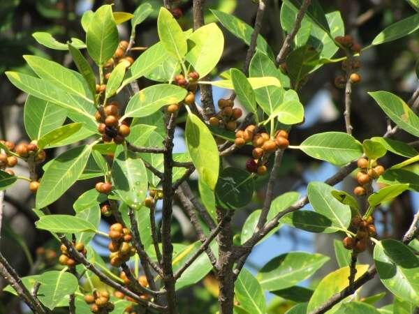Ficus aurea Nutt. - Florida strangler fig