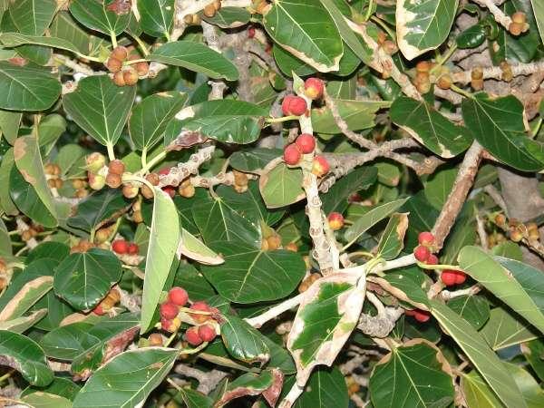 Ficus benghalensis L. - Indian banyan