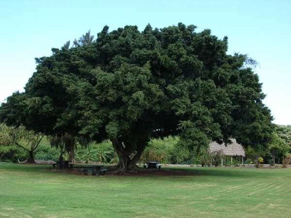 Ficus microcarpa l f chinese banyan for Arboles de jardin de hoja perenne
