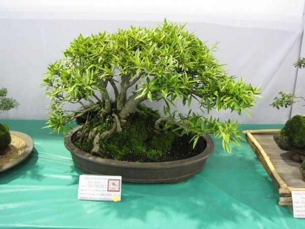 Tarfikus 55457 Swedish Common Name Ficus Neriifolia