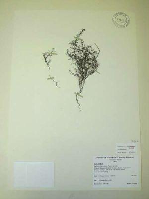 Galium divaricatum
