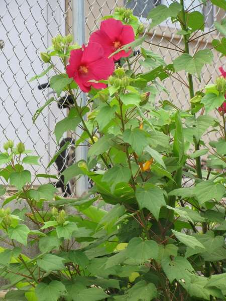 hibiscus moscheutos l crimsoneyed rosemallow. Black Bedroom Furniture Sets. Home Design Ideas