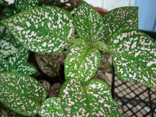 Hypoestes phyllostachya baker polkadot plant - Plants for every room in your home extra comfort and health ...