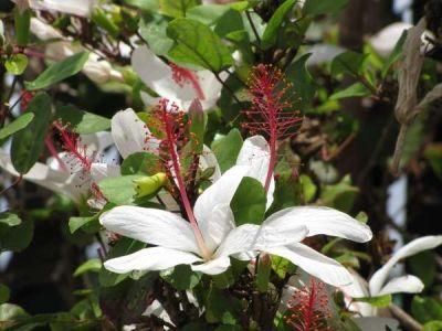 Hibiscus arnottianus subsp. arnottianus