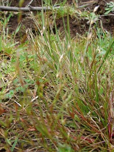 Juncus bufonius - Specie della flora italiana