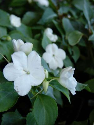 Impatiens walleriana -