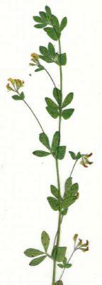 Lotus subbiflorus