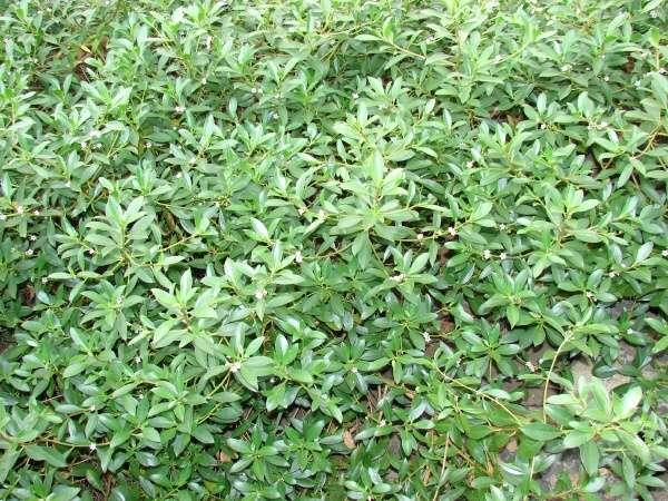 Myoporum Sandwicense Myoporum Sandwicense