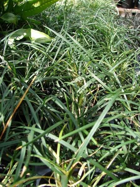Ophiopogon Japonicus L F Ker Gawl Dwarf Lilyturf