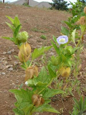 Nicandra physalodes -
