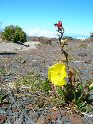 Oenothera stricta subsp. stricta -