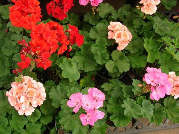 the plant library � scientific name � pelargonium x