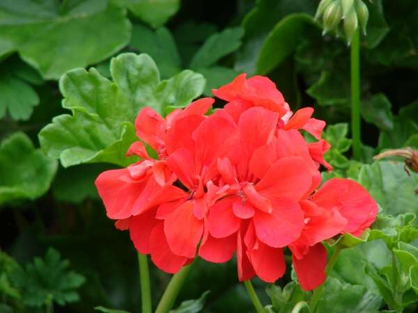 zonal pelargonium 187749 english common name