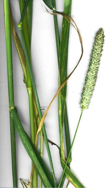 Phalaris aquatica,
