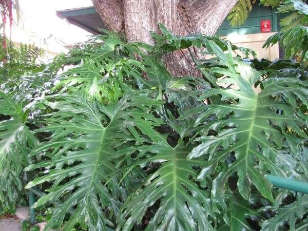Philodendron bipinnatifidum Schott ex Endl. - philodendron Wailuku