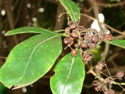 Pittosporum viridiflorum