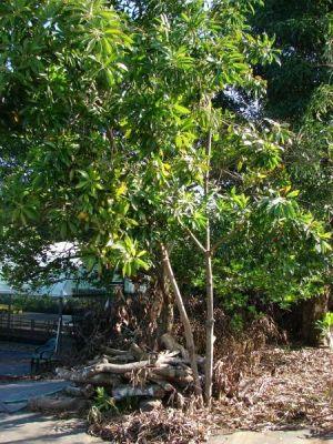 Pouteria campechiana