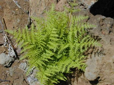 Pteridium aquilinum var. decompositum - a