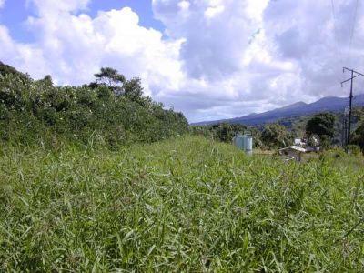 Pueraria montana var. lobata