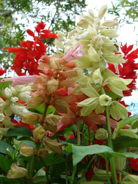 Salvia splendens Sellow
