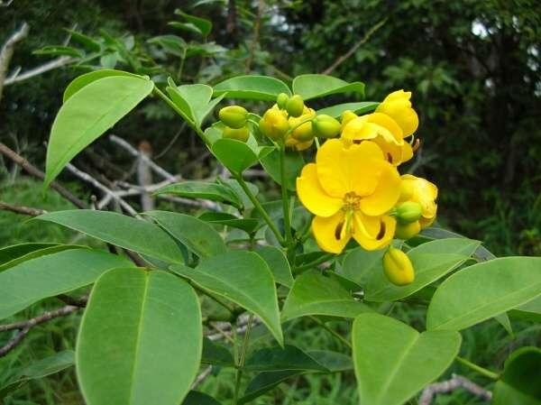 Senna septemtrionalis (Viv.) H. Irwin & Barneby - arsenic bush