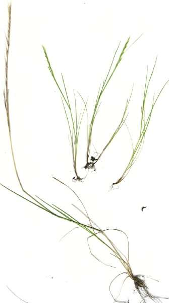 Vulpia myuros,