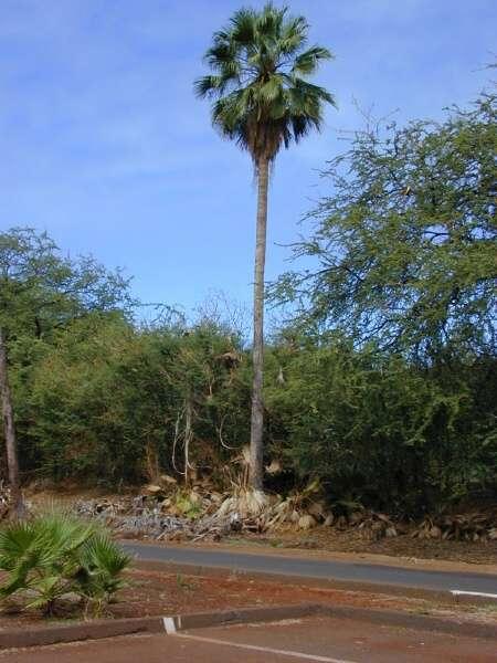 washingtonia robusta h wendl washington fan palm. Black Bedroom Furniture Sets. Home Design Ideas