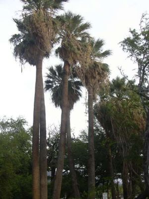 Washingtonia filifera -