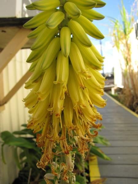 Aloe vera l burm f barbados aloe - Variedades de aloe vera ...