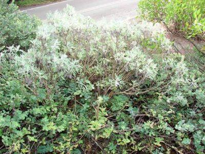 Artemisia australis