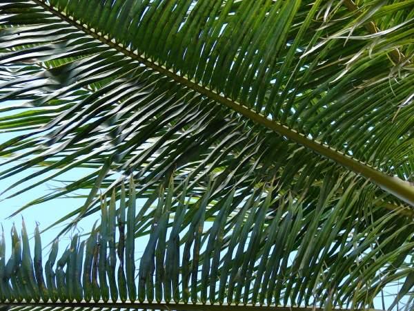 palmas de coco. Palma de Coco