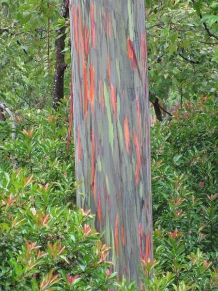 Planting Under Eucalyptus Trees : Eucalyptus deglupta blume indonesian gum