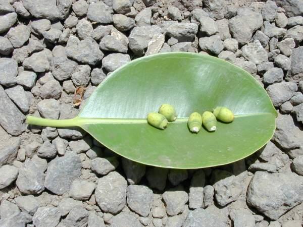Ficus Elastica Roxb Ex Hornem Indian Rubberplant