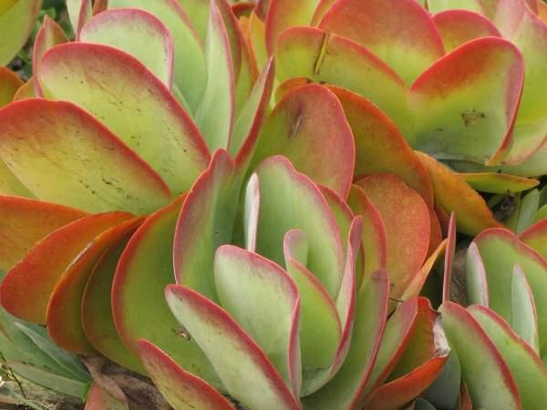 Kalanchoe Thyrsiflora 1 Photo Gallery 4
