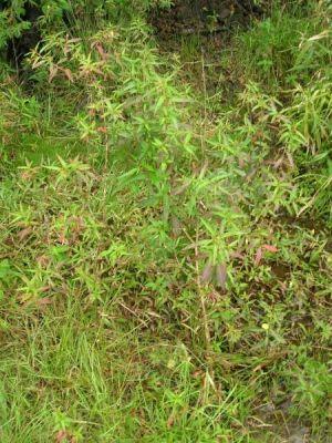 Ludwigia octovalvis