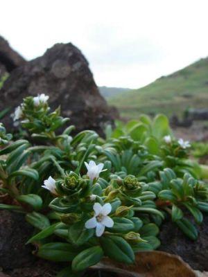 Lysimachia mauritiana