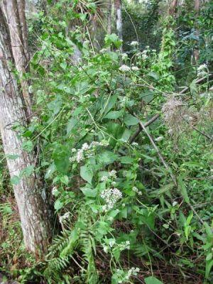 Mikania scandens