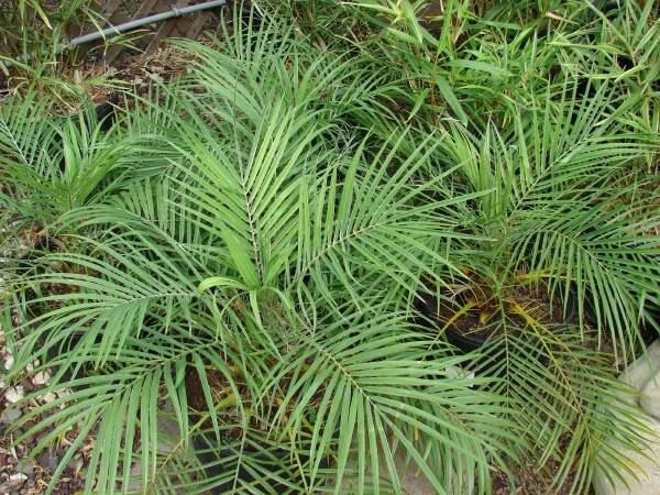 Phoenix Roebelenii O Brien Pygmy Date Palm