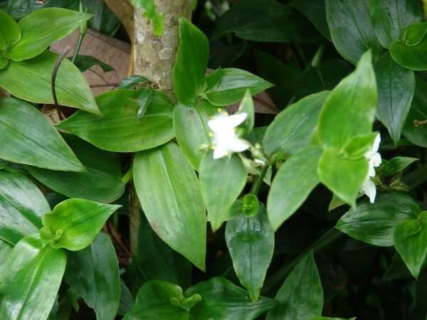 Tradescantia fluminensis tradescanzia sudamericana - Wandering jew plant name ...