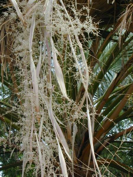 le washingtonia robusta