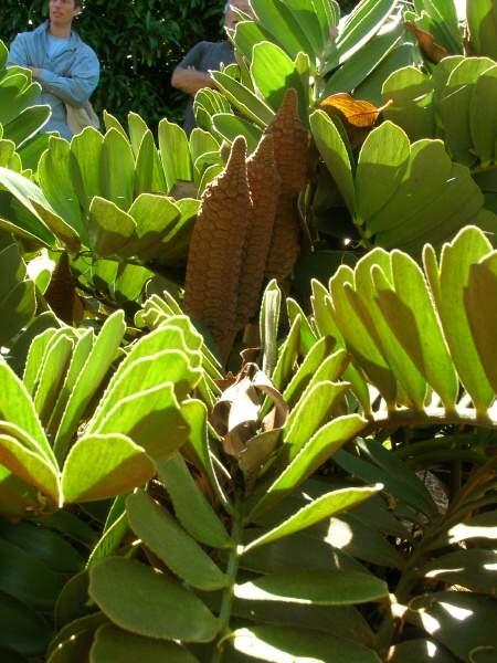 Zamia Furfuracea L F Ex Aiton Cardboard Palm