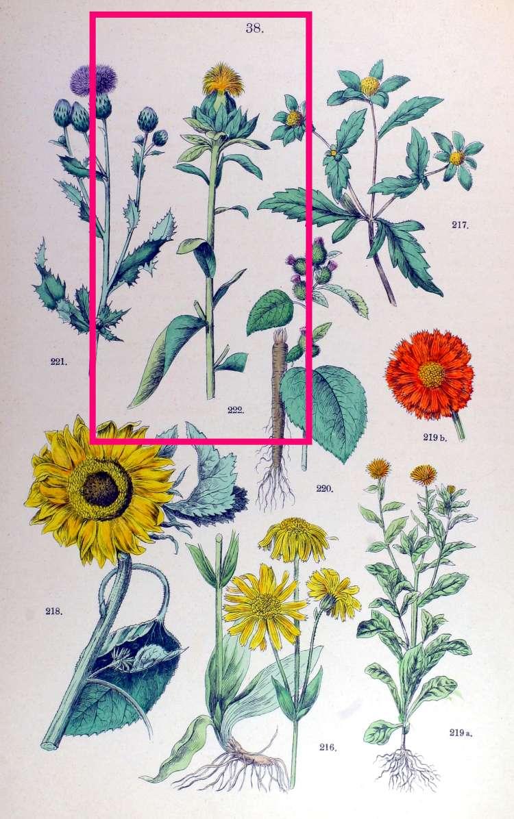 Carthamus Tinctorius Safflower: Carthamus Tinctorius