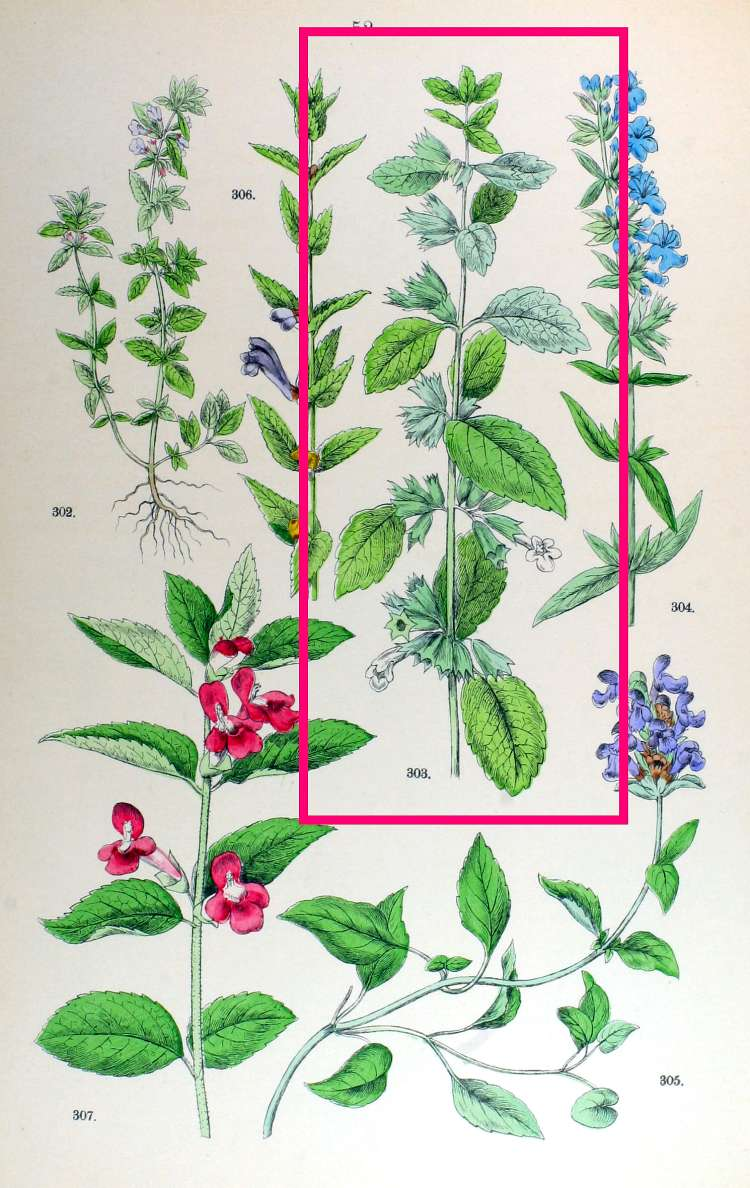 Melissa Officinalis Drawing Name Melissa Officinalis