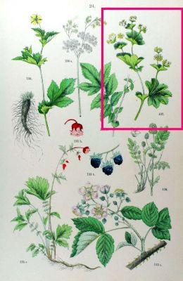 Alchemilla vulgaris