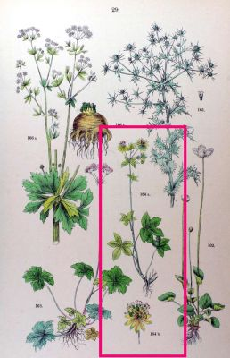 Astrantia major -