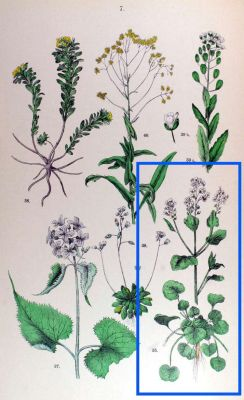 Cochlearia officinalis -